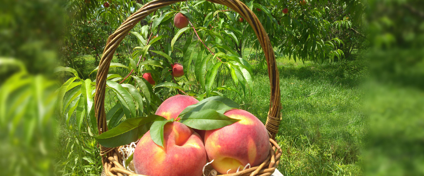 Apple Orchard  North Dartmouth, MA